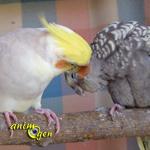 Déroulement de la ponte et de l'incubation chez les perruches calopsittes