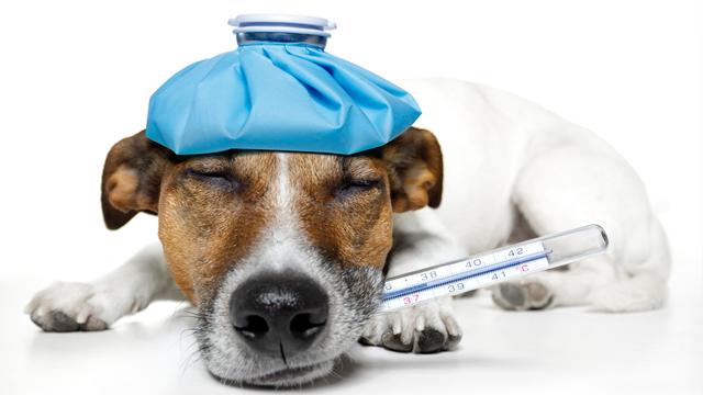 Santé : la fièvre chez le chien (causes, symptômes, traitement)
