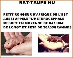 Le rat-taupe nu et la fontaine de jouvence...