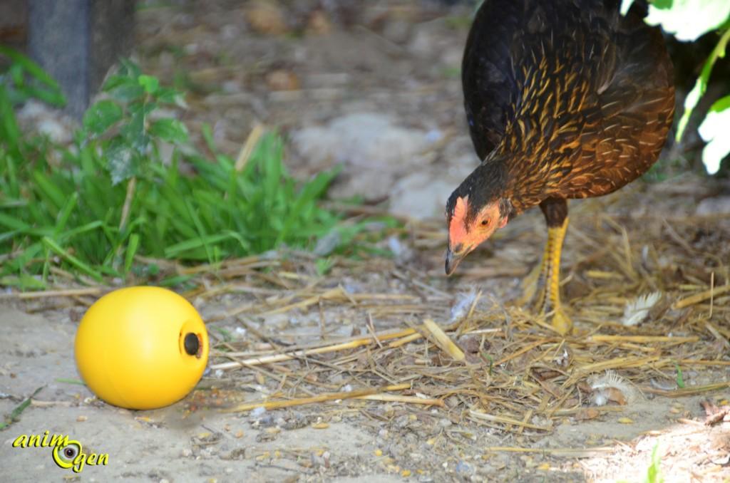 Jouet : balle de foraging pour poules, Savic (test, avis, prix)