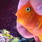 Les massages de Roland Giroux sur son poisson perroquet