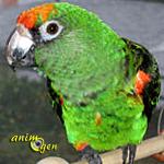 Le perroquet de Jardine, ou perroquet à calotte rouge (Poicephalus gulielmi)
