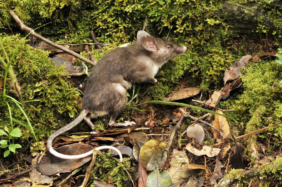 Hyorhinomys stuempkei, la découverte du rat à nez de cochon