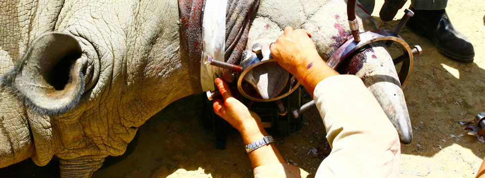 Les cornes de rhinocéros empoisonnent le gagne-pain des trafiquants