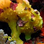 Le poisson grenouille, un compagnon récifal hors normes