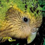 Le Strigops kakapo, ou strigops habroptilus, perroquet hibou de Nouvelle Zélande