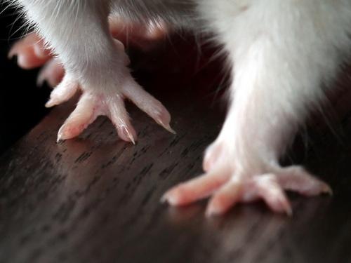Pourquoi les rats frottent-ils leurs pattes contre les accessoires et les barreaux des cages ?