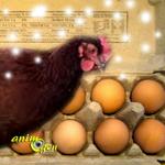 Races de poules et astuces pour avoir des oeufs en hiver