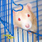 Education et comportement : pourquoi les rats s'échappent-ils de leur cage ? (cause et solution)