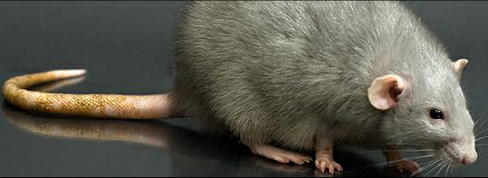 A quel âge humain équivaut celui de nos rats de compagnie ?