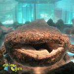 Le sourire de la salamandre géant du Japon (Andrias japonicus)