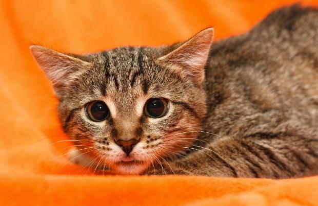 Comportement : votre chat est-il stressé ?