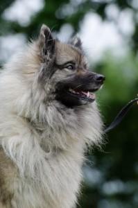 Le Spitz loup, ou Keeshond (origines, éducation, caractère, comportement)