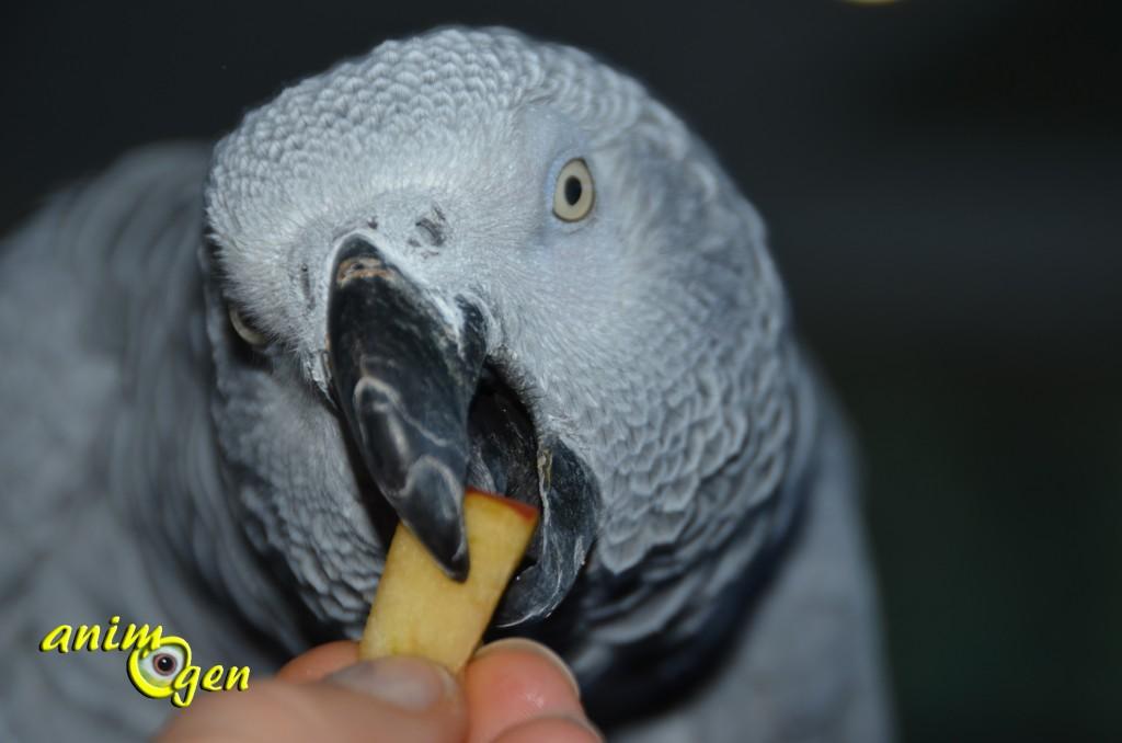Alimentation : comment faire accepter de nouveaux aliments à nos perroquets ?