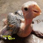 Santé : la goutte chez les perroquets juvéniles (causes, symptômes, traitement)