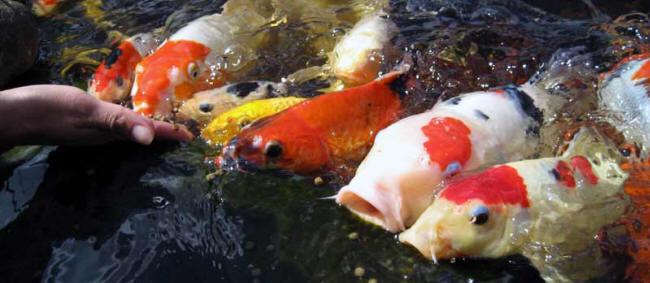 Bassin : faut-il nourrir les poissons en hiver ?