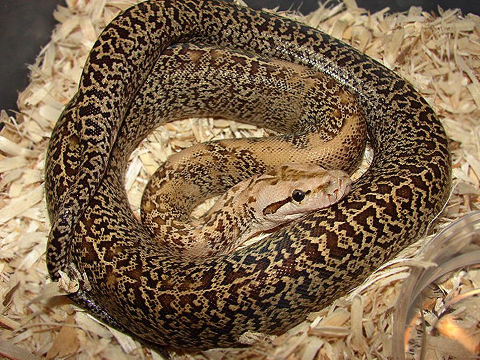 le python birman ou python de birmanie python molurus