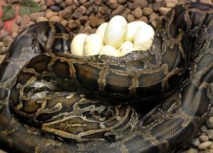 Le Python birman, Python de Birmanie ou Python Molure (Python molurus bivittatus)