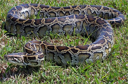 L'invasion du Python birman (Python bivittatus) dans les Everglades