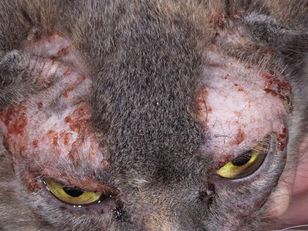 Santé : la dermatite atopique, ou atopie féline, chez le chat,causes, symptômes et traitements