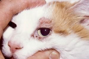 Santé : la dermatite atopique, ou atopie féline, chez le chat, causes, symptômes et traitements