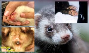 La maladie de Carré chez le furet (causes, symptômes,prévention)