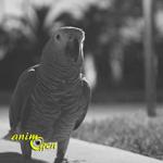 Le dernier souffle du perroquet gris du Gabon au Ghana