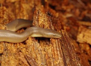 Le boa caoutchouc, ou boa de gomme (Charina bottae), un nom qui lui va comme un gant