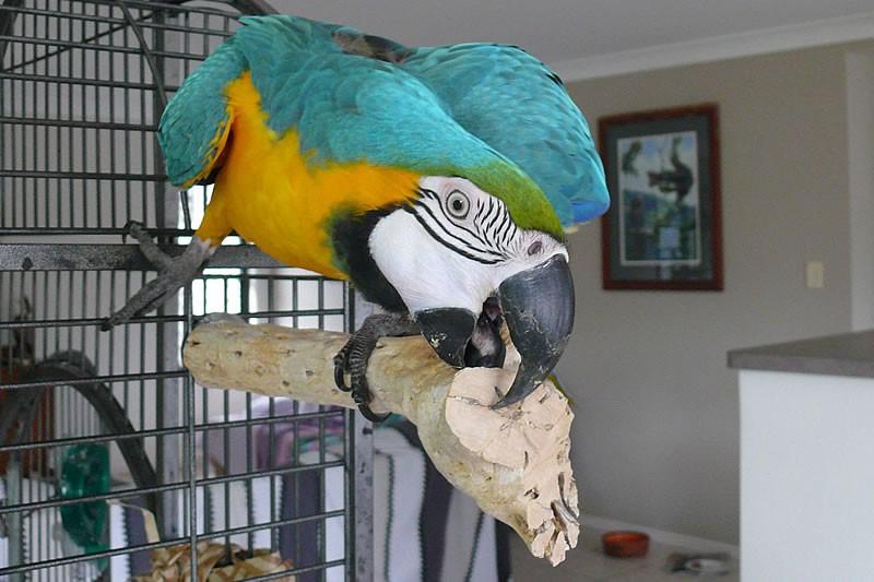Jeux et accessoires : la cholla, un bois qui a du piquant pour nos perroquets