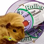 Accessoires : la roue est-elle indiquée pour les cochons d'Inde ?
