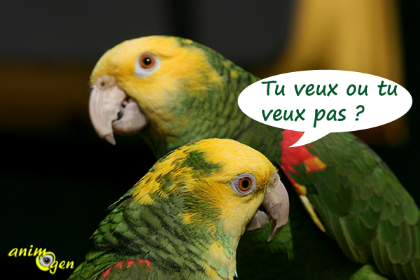 Perroquets : la formation d'un couple chez les Amazones