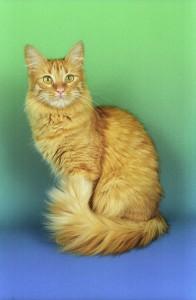 L'angora turc, un chat-chien qui a le dernier mot