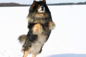 Le Lapinkoïra, Suomenlapinkoira, ou chien finnois de Laponie