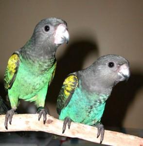 Comportement : les Poicephalus (espèces, tempérament, différences)