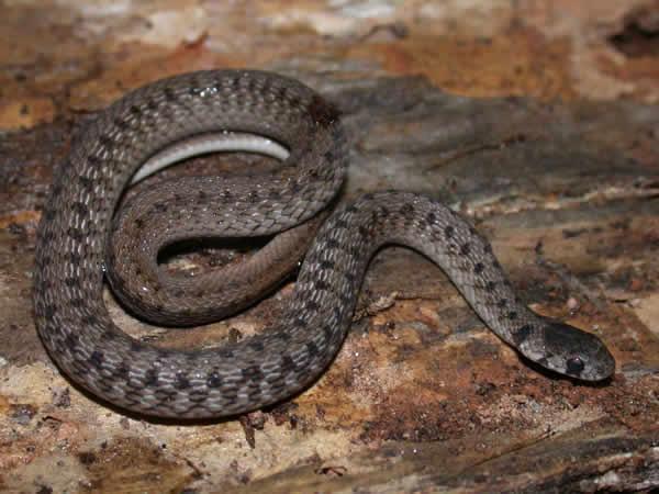 La couleuvre brune, Storeria dekayi (alimentation,reproduction,comportement)