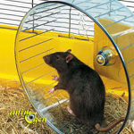 Comportement : pourquoi certains rats refusent-ils d'utiliser leur roue ?
