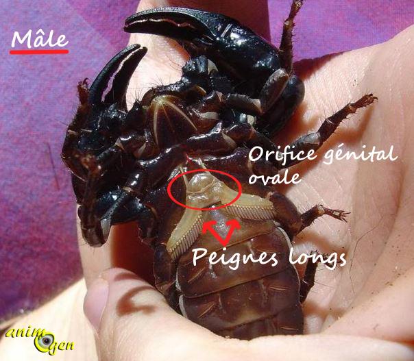 Mâle ou femelle, comment sexer un scorpion empereur ? (astuces et images)