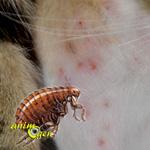 L'allergie du chat aux puces, dermatite allergique des puces (symptômes, soins, traitement)