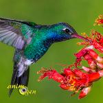 Les super pouvoirs des colibris, petits bolides de précision
