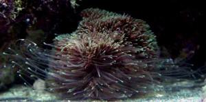 Bac récifal : agression et rivalité entre coraux