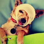 Santé : la douleur chez le chien (causes, symptômes, traitement)