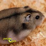 Santé : les glandes odoriférantes chez les hamsters de compagnie (emplacement, aspect, rôle)