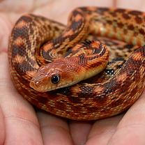 Santé : infection cutanée fongique chez le serpent (causes, symptômes, traitement)