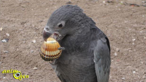 Une nouvelle aptitude découverte chez les perroquets à Madagascar