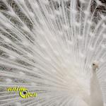 La déclaration d'amour du paon blanc (vidéo)