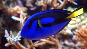 Le monde de Dory, un tsunami aquariophile et marin à venir ?