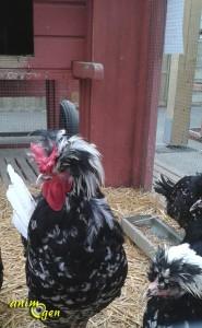 A vos poules, prêts partez !