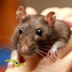 Comportement : le stress induit-il des comportements violents chez nos rats de compagnie ?