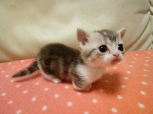Le Munchkin, un chat court sur pattes et haut en couleurs
