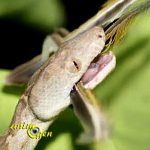 Un boa brillant découvert aux Bahamas ! (Chilabothrus argentum)